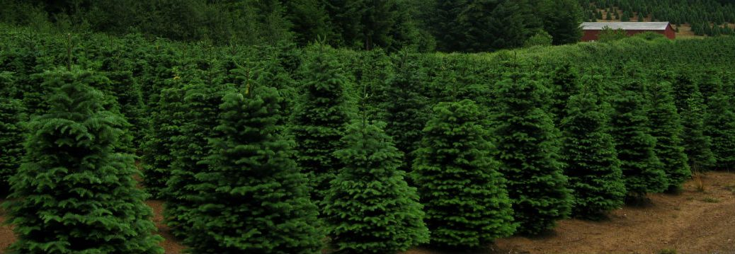 Local Christmas Tree Farms Enfield CT 2014