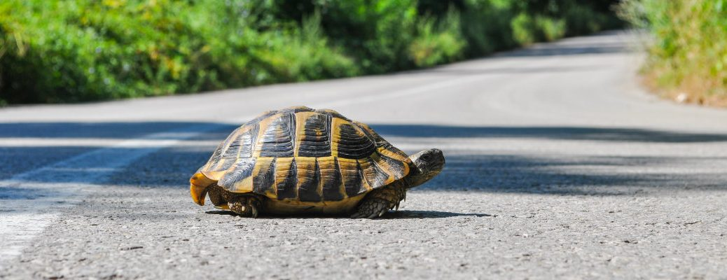 Turtle/tortoise crossing a paved road