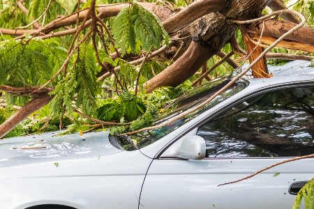 Fallen tree on top of a white car