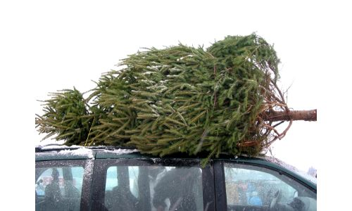 Tree tied onto a car roof