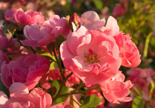 beautiful pink roses practically glowing in the sunshine