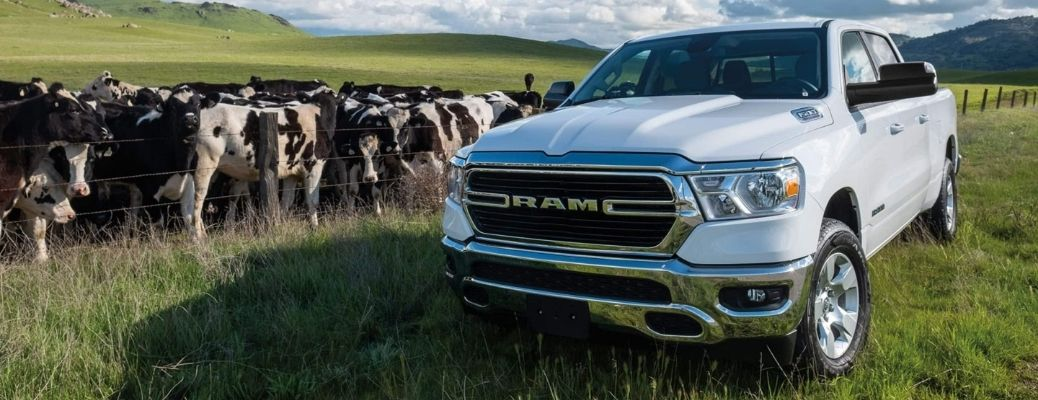 2021 RAM 1500 in a grassland along with cattle