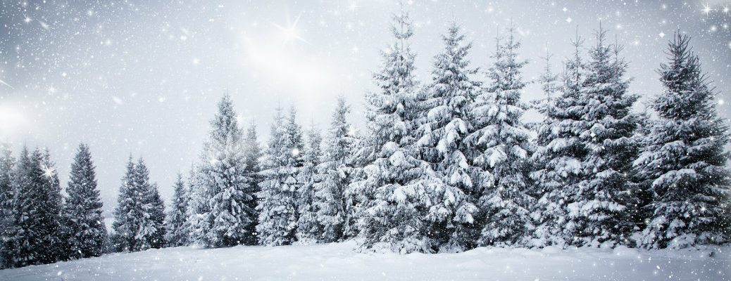 a forest of pine Christmas trees topped with a snowfall in the wilderness