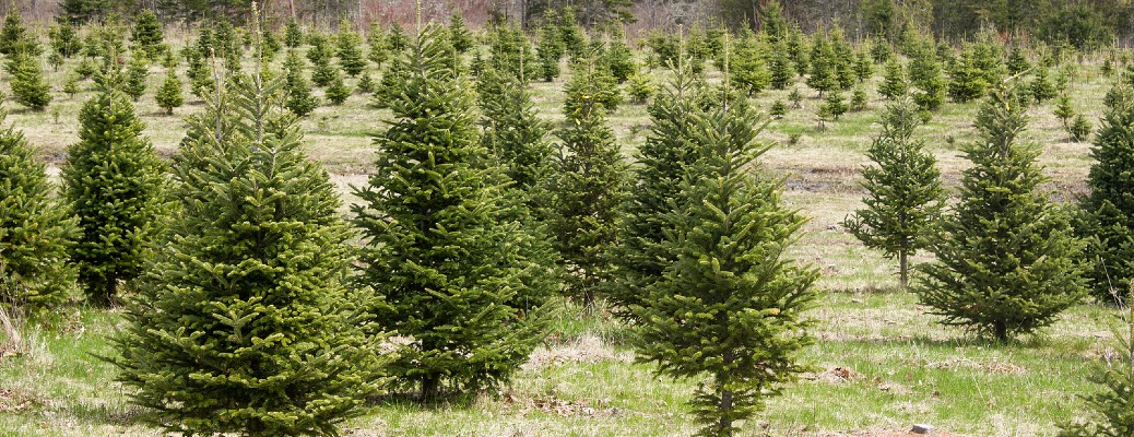 a Christmas tree farm full of evergreen conifer trees growing in a field of grass