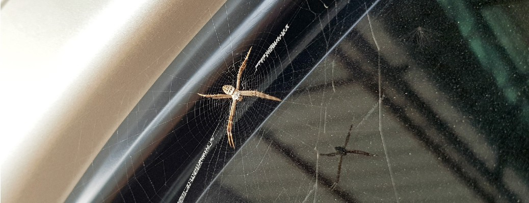 A Spanish Wolf spider on the window of a vehicle