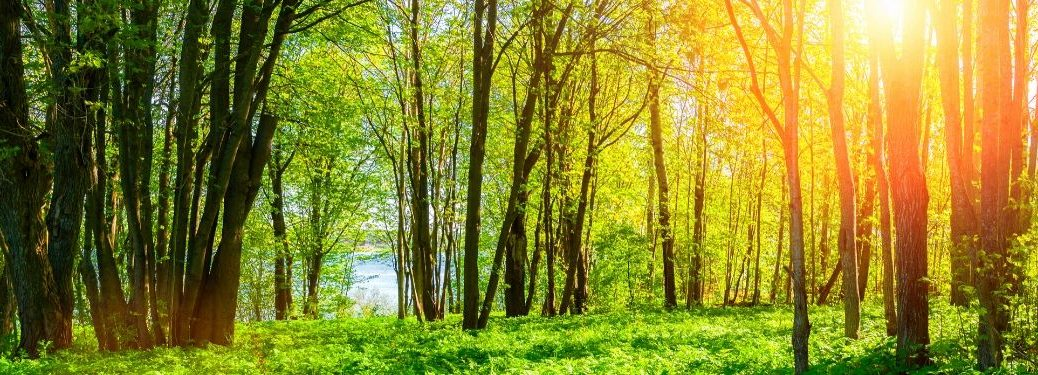 green forest with sun shining through branches