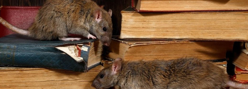 two rats on books