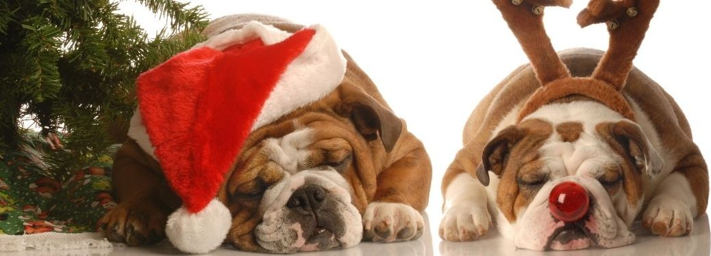bulldogs in santa hat and antlers next to christmas tree