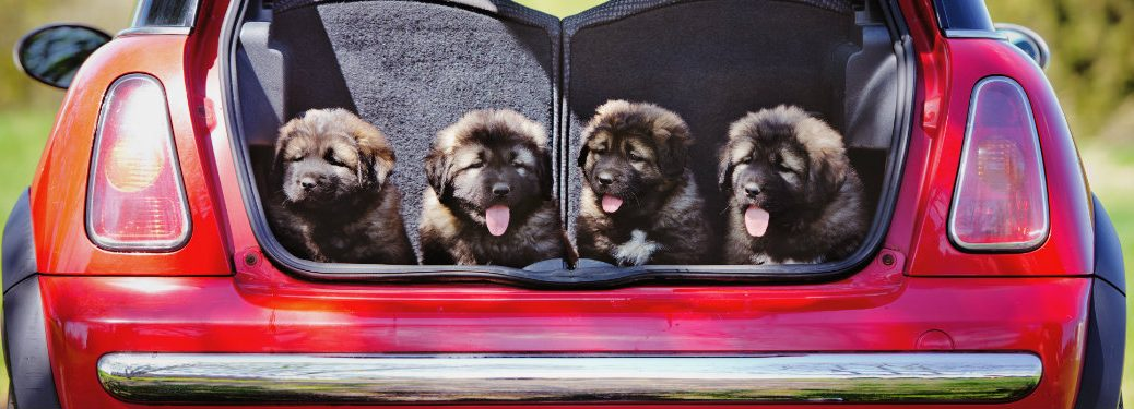 four puppies in rear of red car