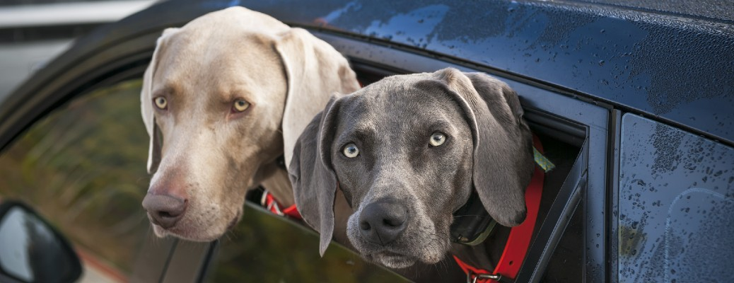 two gray dogs in the window of a car