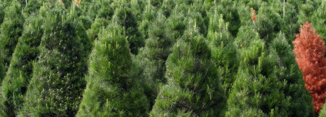 rows of evergreen trees
