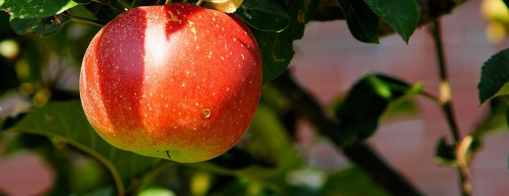Close up of a juicy apple hanging from a branch in an orchard