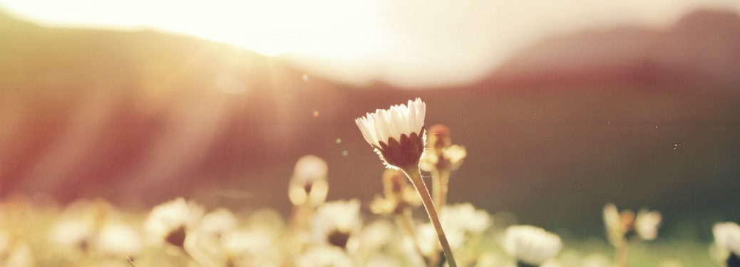 dandelion in meadow of grass with sun setting behind it