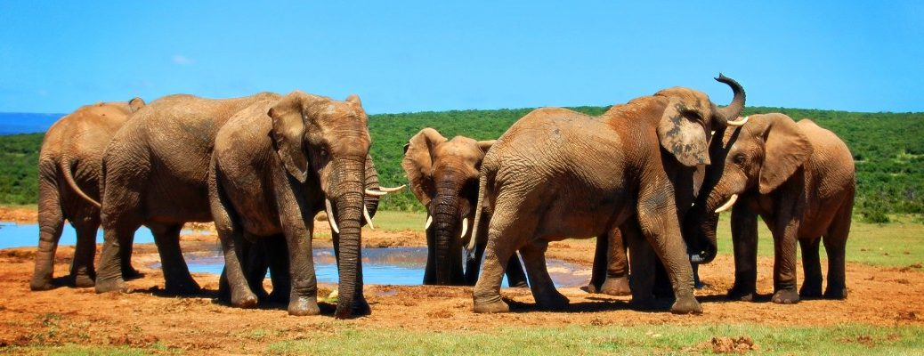Elephants in the African wilderness
