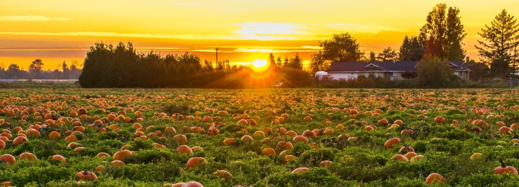 Pumpkins in a pumpkin patch with a sunset in the background