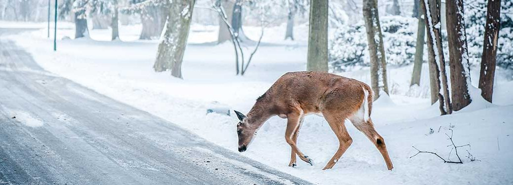 deer by a road in the winter