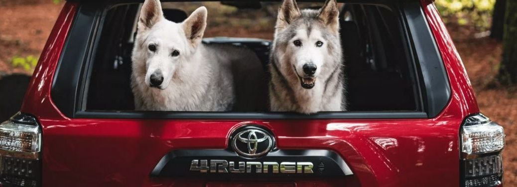 Two Dogs in Back of Red 2022 Toyota 4Runner