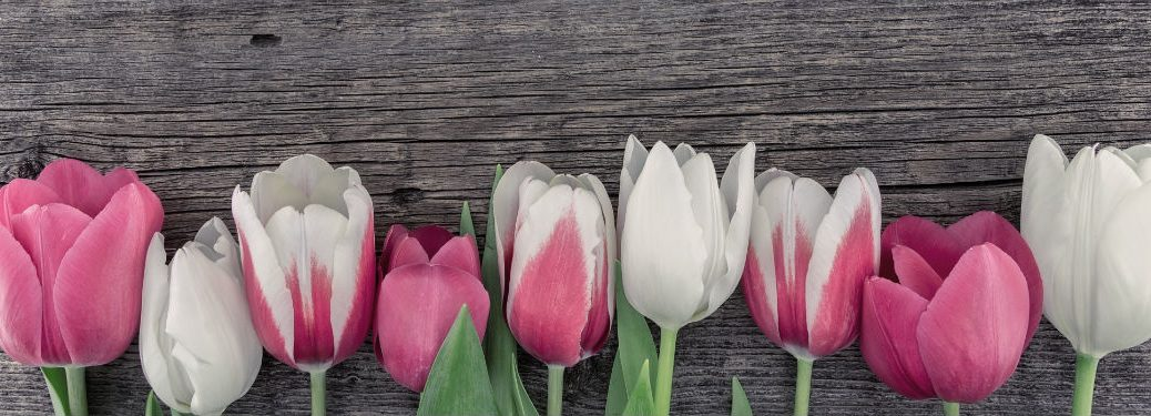 Row of pink and white tulips on rustic wood background