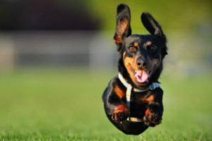 Dog with large ears jumping in the air