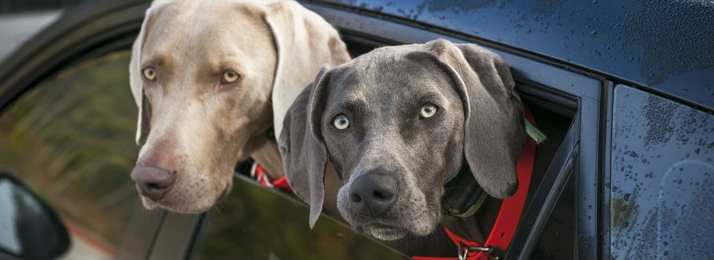 Dogs sticking their heads out of a car window