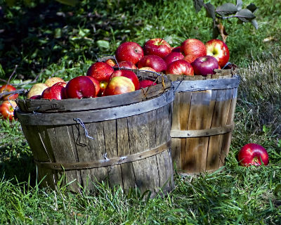 two wooden tubs of apples on grass