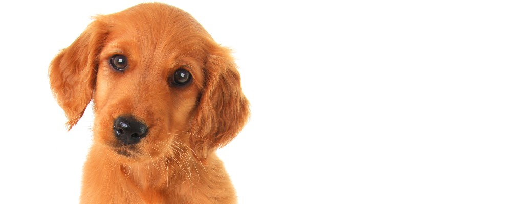 yellow puppy on a white background