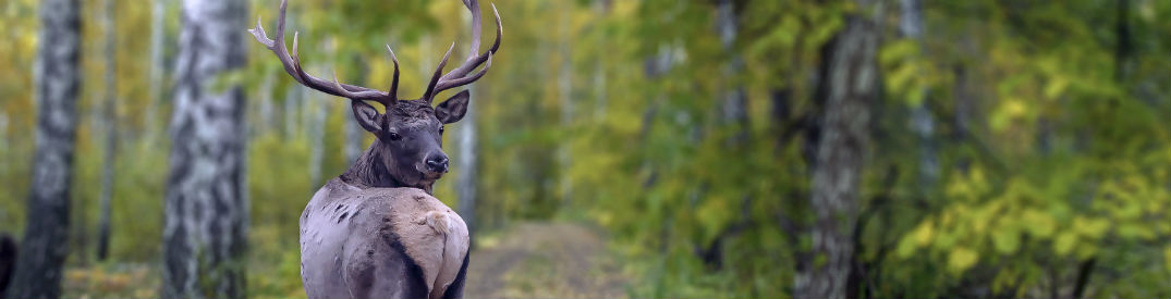 Big buck looking over its shoulder at you