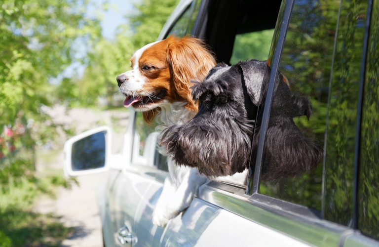 Two dogs leaning out car window