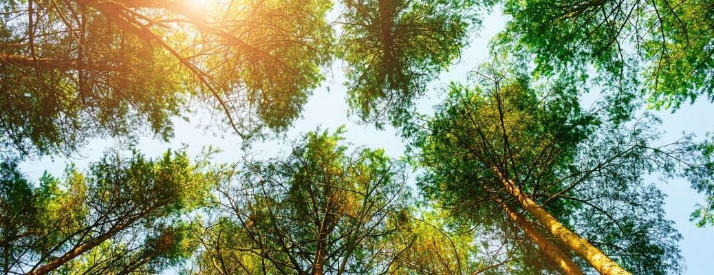 Tall trees with sunlight shinning on them