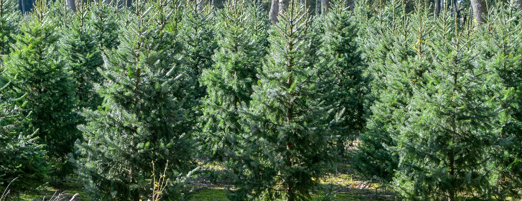 Pine trees clustered outside