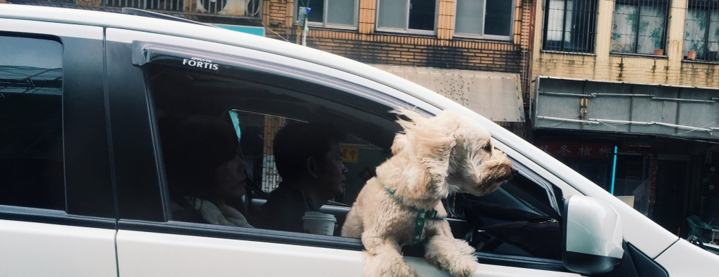 fluffy white dog hanging out of front passenger side of car driving