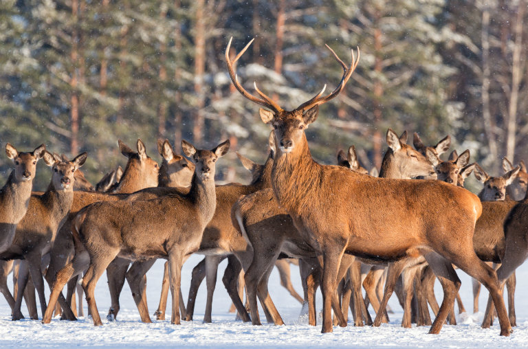 A group of deer in the snow