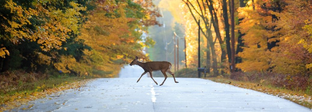 Female deer crossing a road during autumn