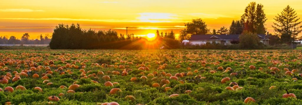 Pumpkins in a field with a sunrise in the background