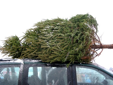 Tree strapped to the roof of a car