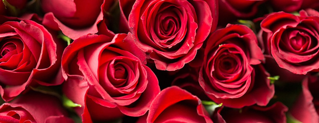 A close image of several red roses
