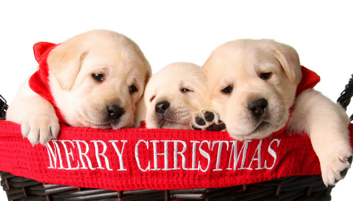 "Three puppies in a bin that says ""Merry Christmas"""