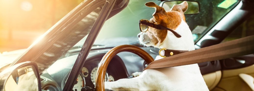 Jack Russel driving a car