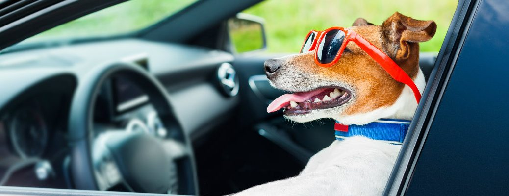 Dog in Sunglasses in the Front Seat