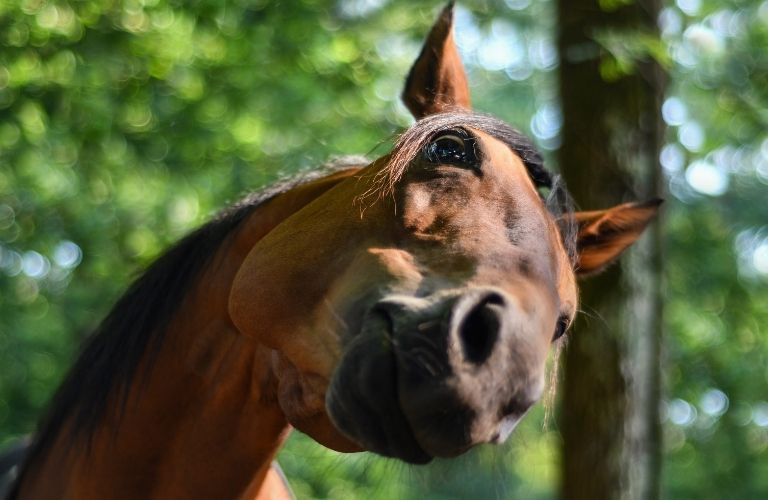 A horse twists its head up to look goofily into the camera