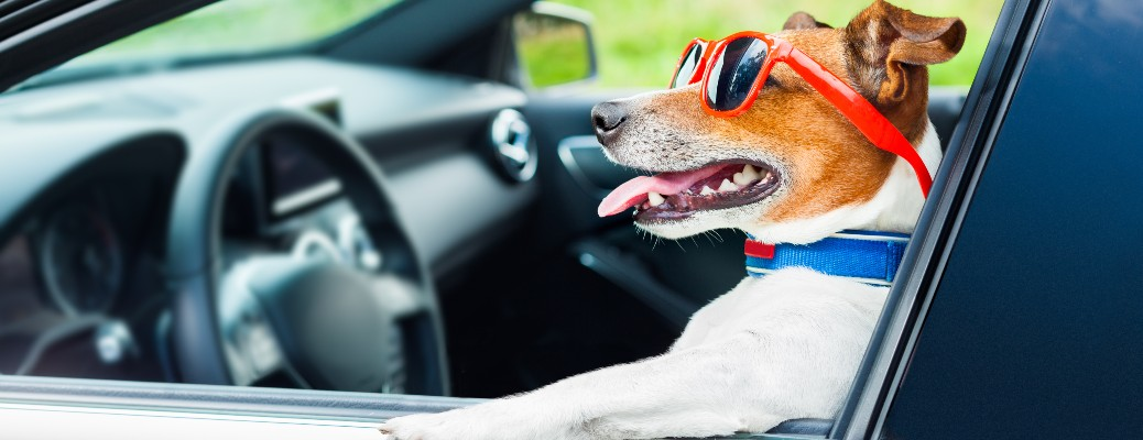 a cool dog behind the wheel of a car