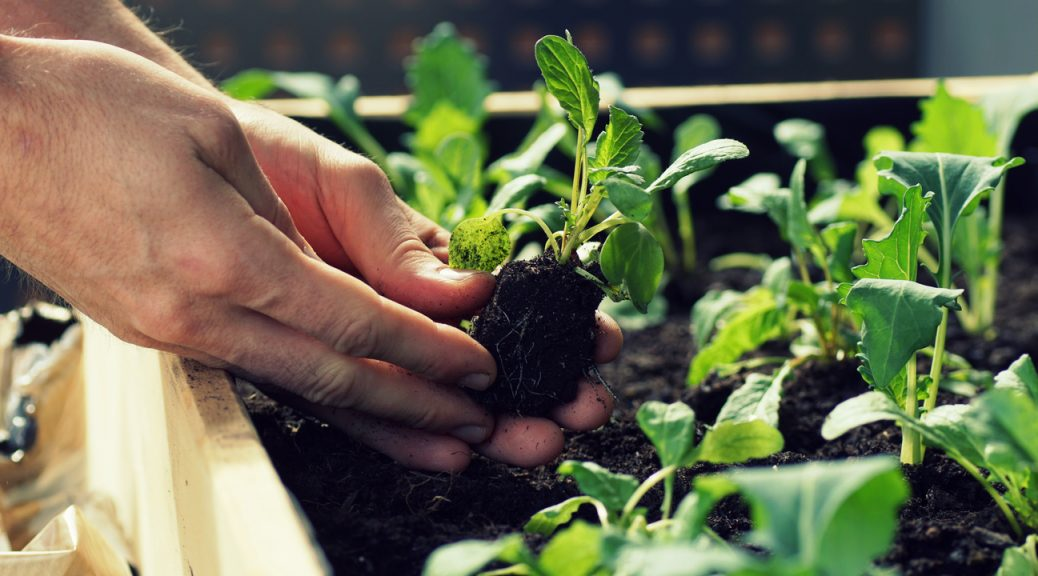 Gardening on terrace, dirty hands holding a seedling, planting.