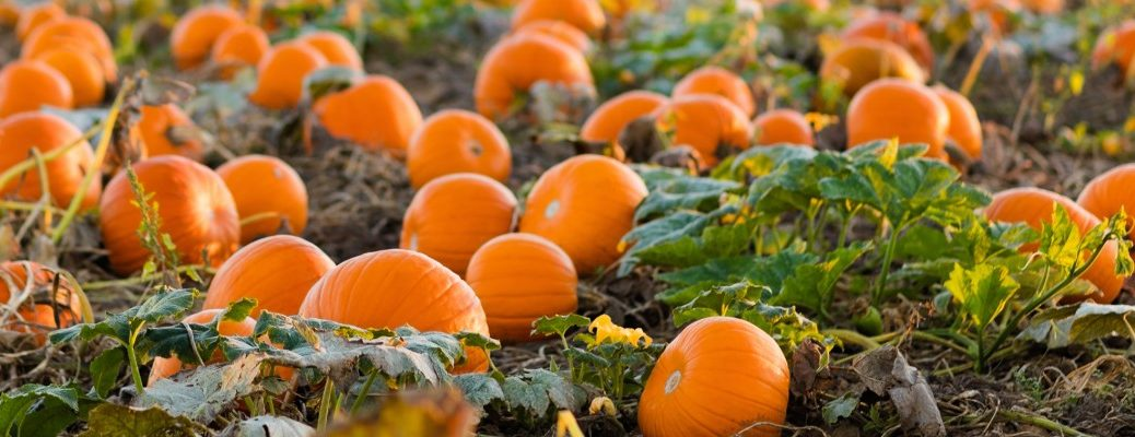 a fresh and ripe pumpkin patch full of new and orange round pumpkins in the farm field