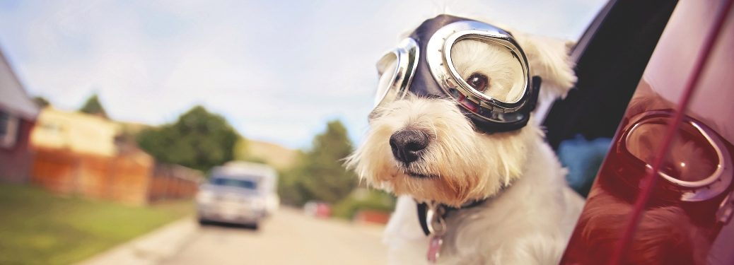 Dog with aviators goggles hanging out a vehicle window
