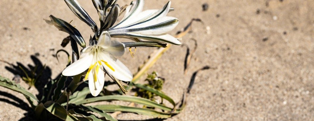 White Desert Lily and Sand background