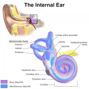 diagram of internal ear - motion sickness vestibular system