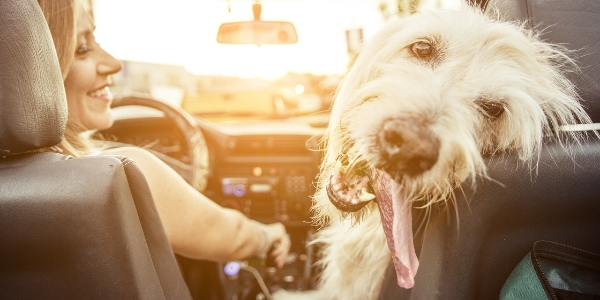 Happy dog in car with tongue out