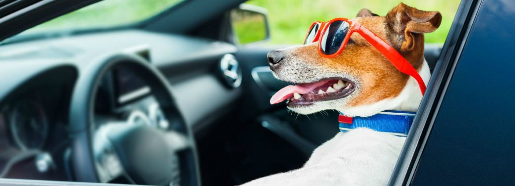 dog driving vehicle with shades on