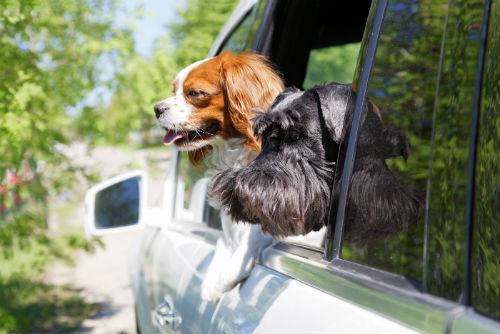 dogs looking out the window of car