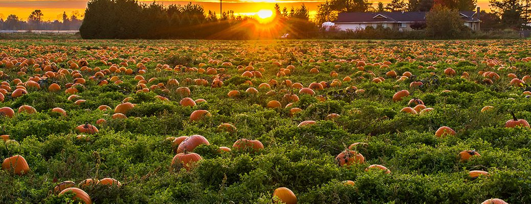 pumpkins in a field with a sunset